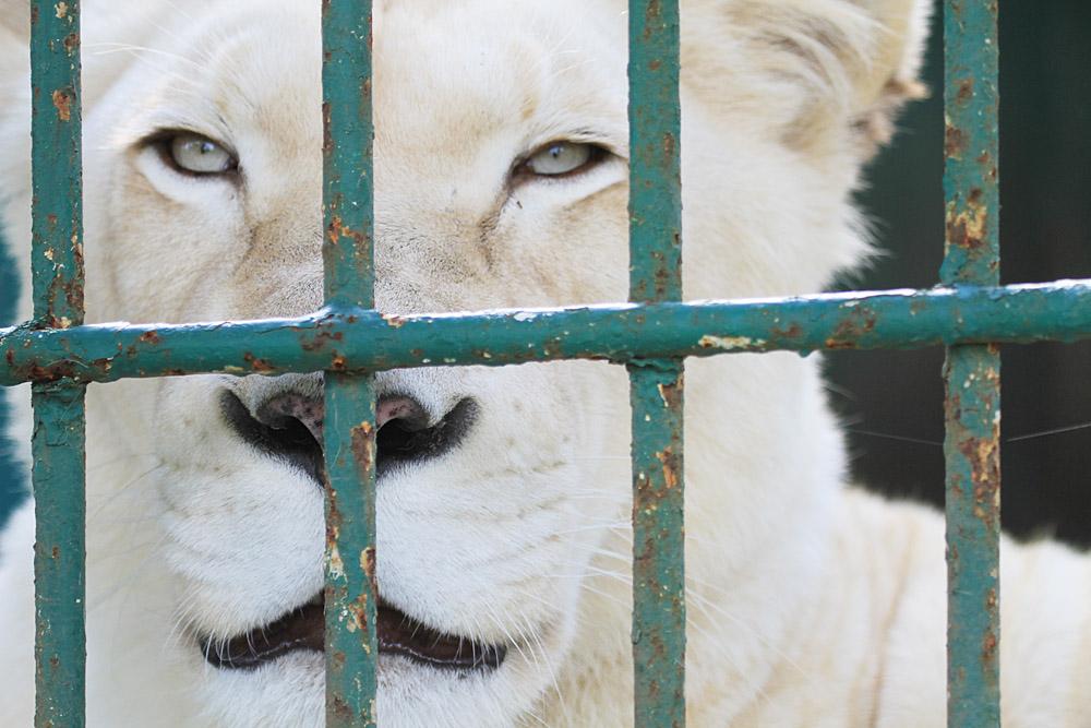 2013.10.27 東北サファリ☆ホワイトライオンのミルとライム 【White Lion】_f0250322_0164891.jpg