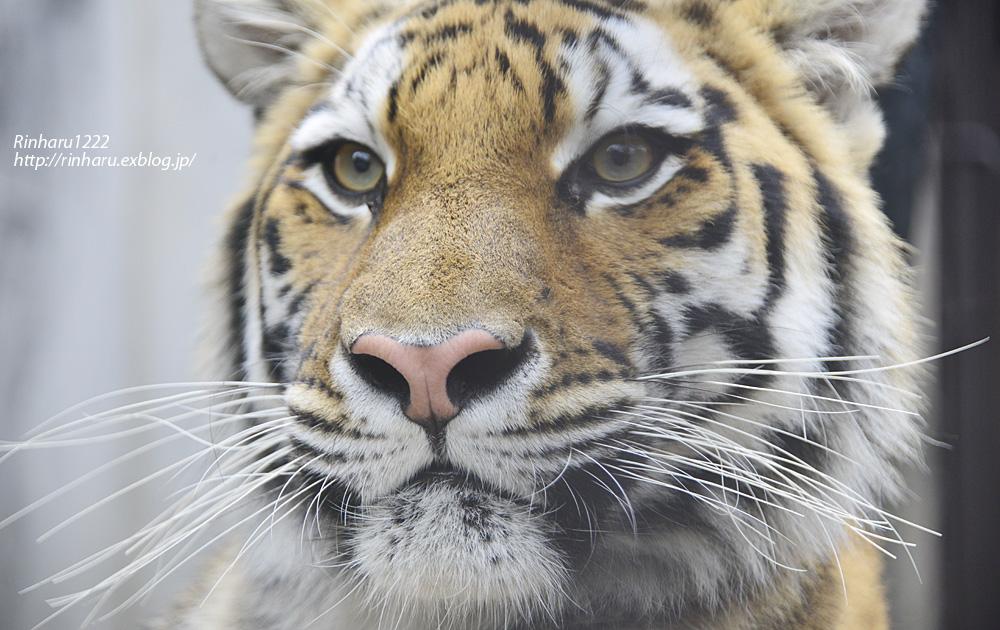 2013.10.19 宇都宮動物園☆アムールトラのチグ【Tiger】_f0250322_082286.jpg