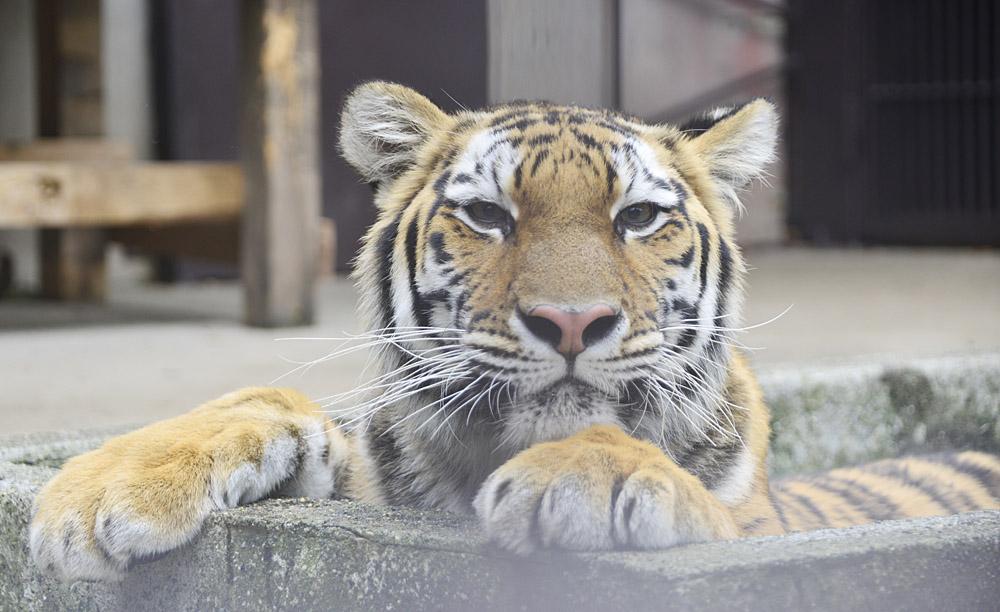 2013.10.19 宇都宮動物園☆アムールトラのチグ【Tiger】_f0250322_084084.jpg