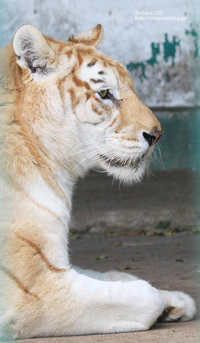 2013.11.8 東北サファリパーク☆トラのカバリ 【Tiger】_f0250322_1241308.jpg