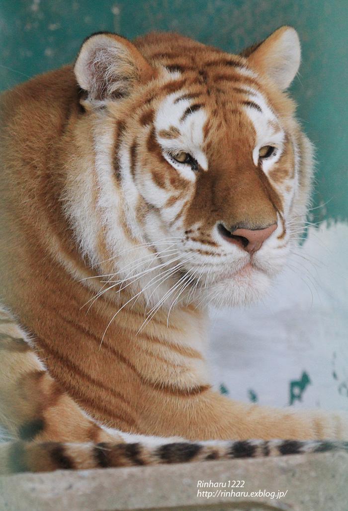 2013.11.8 東北サファリパーク☆トラのカバリ 【Tiger】_f0250322_12413185.jpg