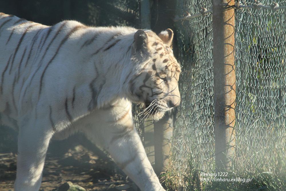 2013.11.16 群馬サファリ☆ホワイトタイガーのクラウド、メープル、ヴィエリ、バッジョ 【White tiger】_f0250322_1364798.jpg