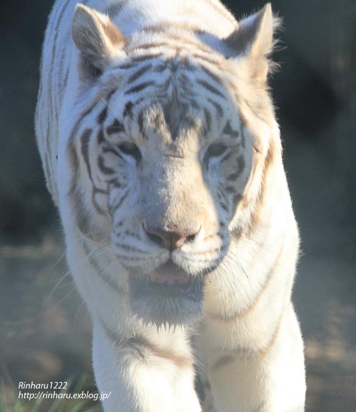 2013.11.16 群馬サファリ☆ホワイトタイガーのクラウド、メープル、ヴィエリ、バッジョ 【White tiger】_f0250322_1364962.jpg