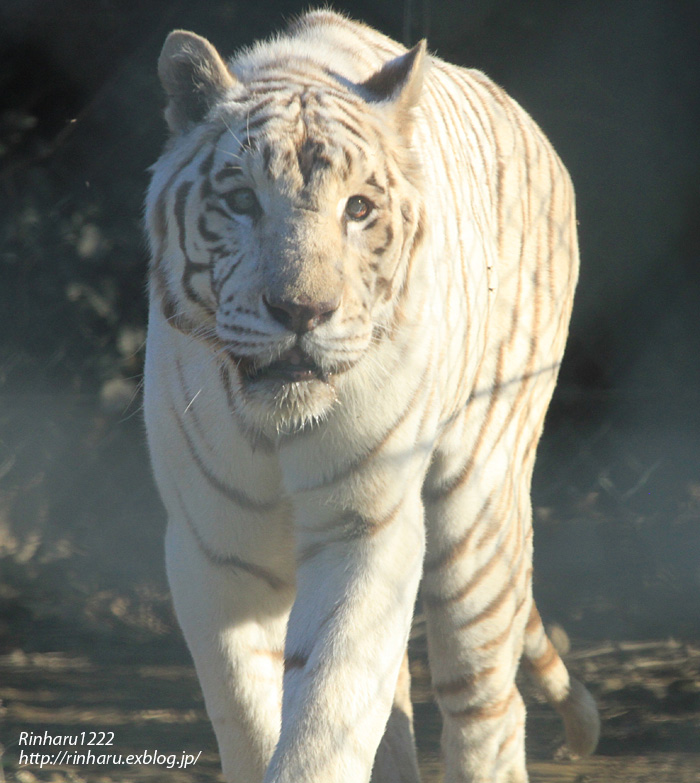 2013.11.16 群馬サファリ☆ホワイトタイガーのクラウド、メープル、ヴィエリ、バッジョ 【White tiger】_f0250322_1364982.jpg