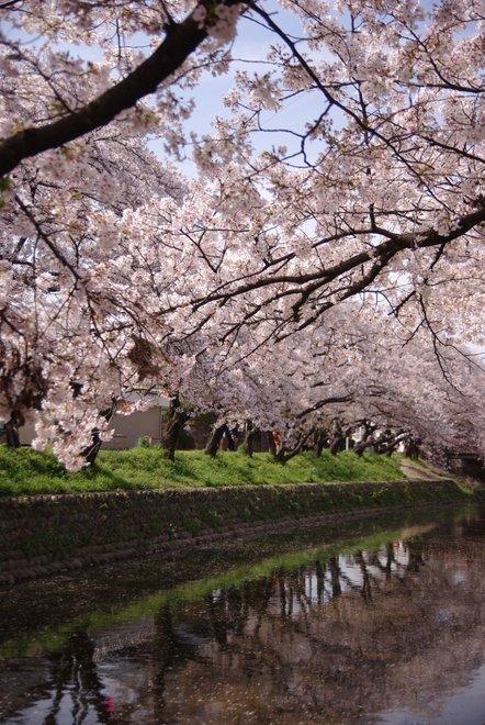 五条川の桜_e0171336_22134257.jpg