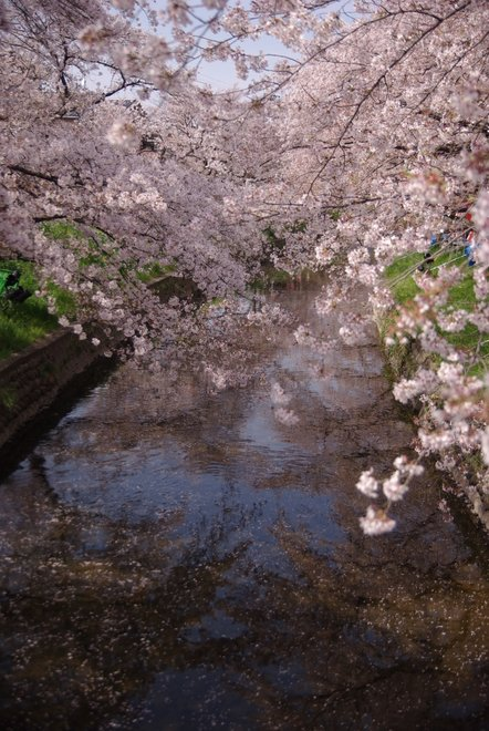 五条川の桜_e0171336_2233126.jpg