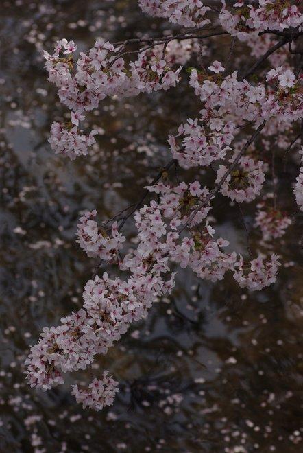 五条川の桜_e0171336_2233343.jpg