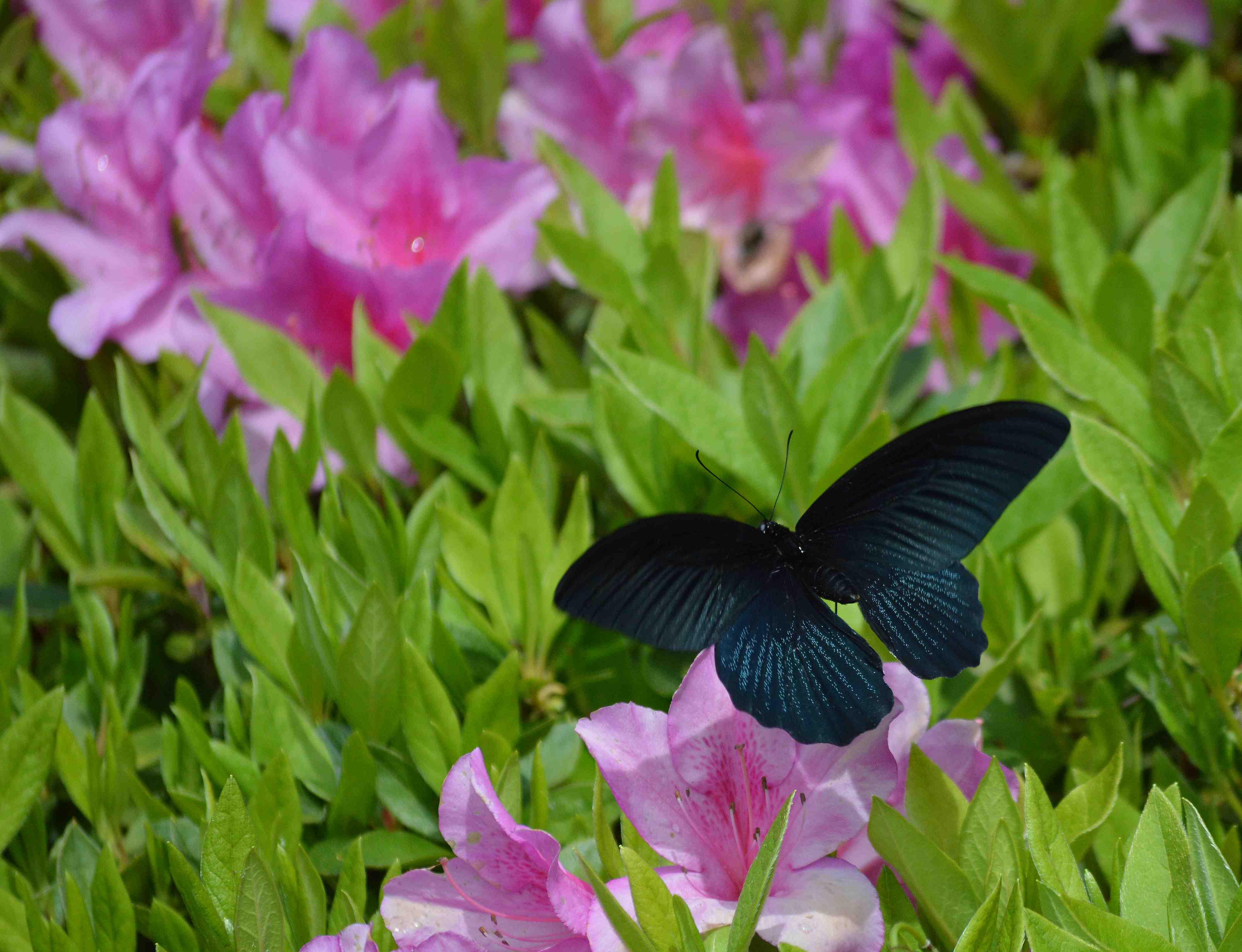 ナガサキアゲハ 超巨大な蝶です_d0254540_1332493.jpg