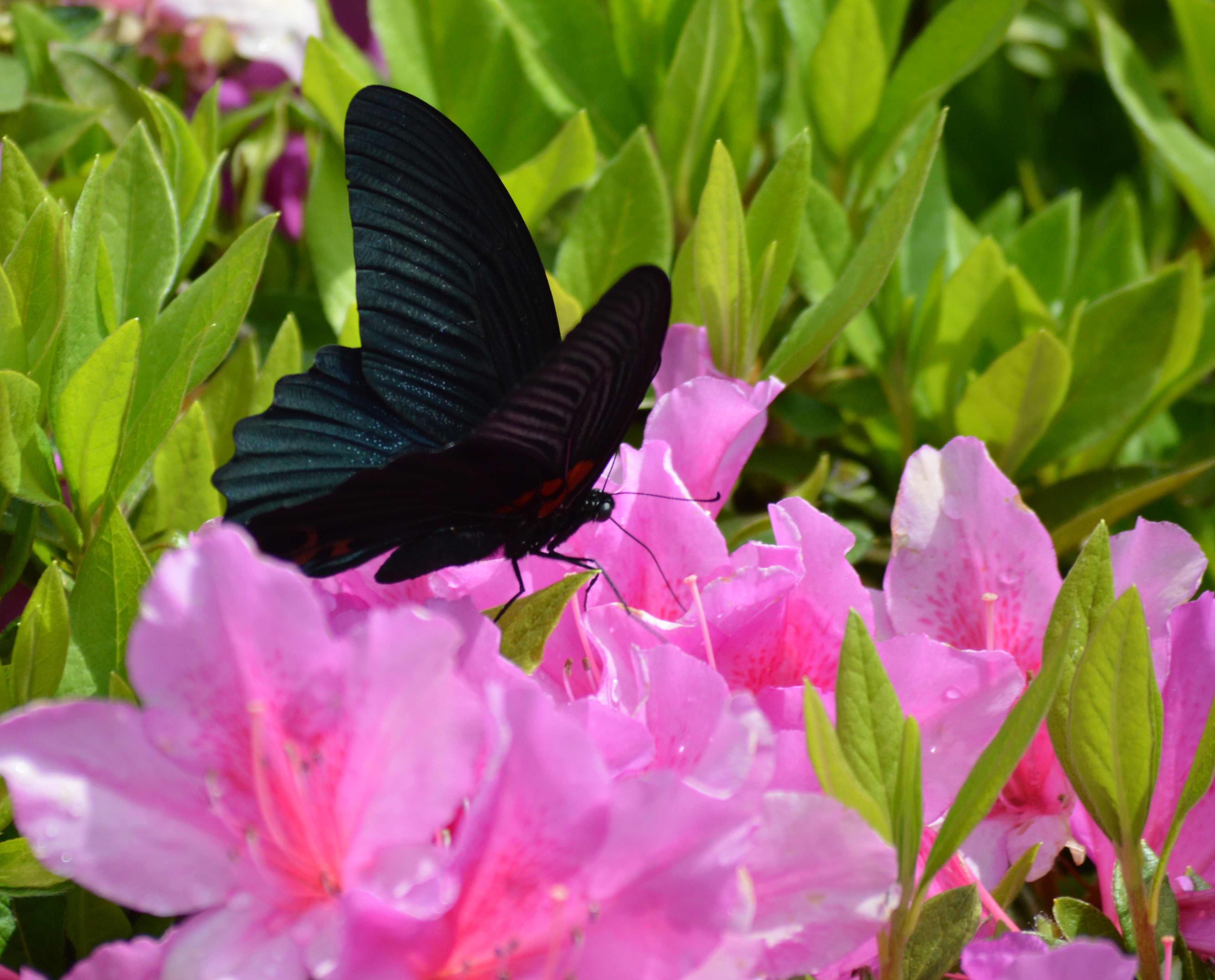 ナガサキアゲハ 超巨大な蝶です_d0254540_1334454.jpg