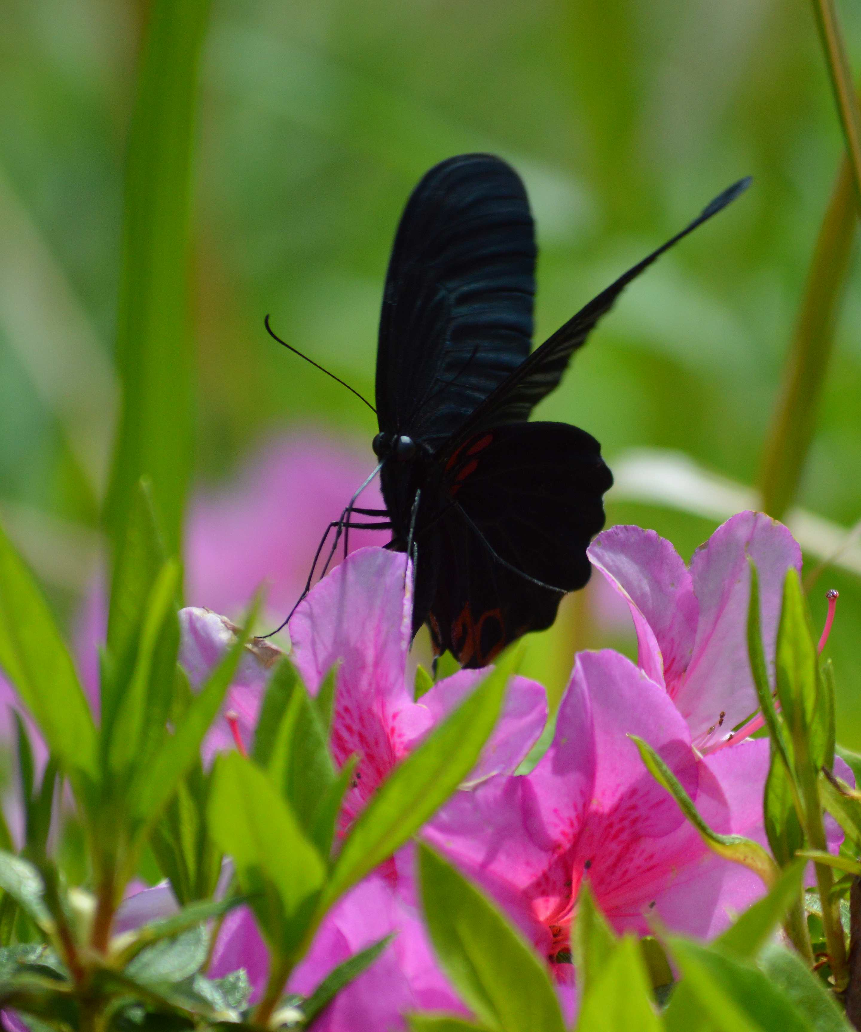 ナガサキアゲハ 超巨大な蝶です_d0254540_13389.jpg