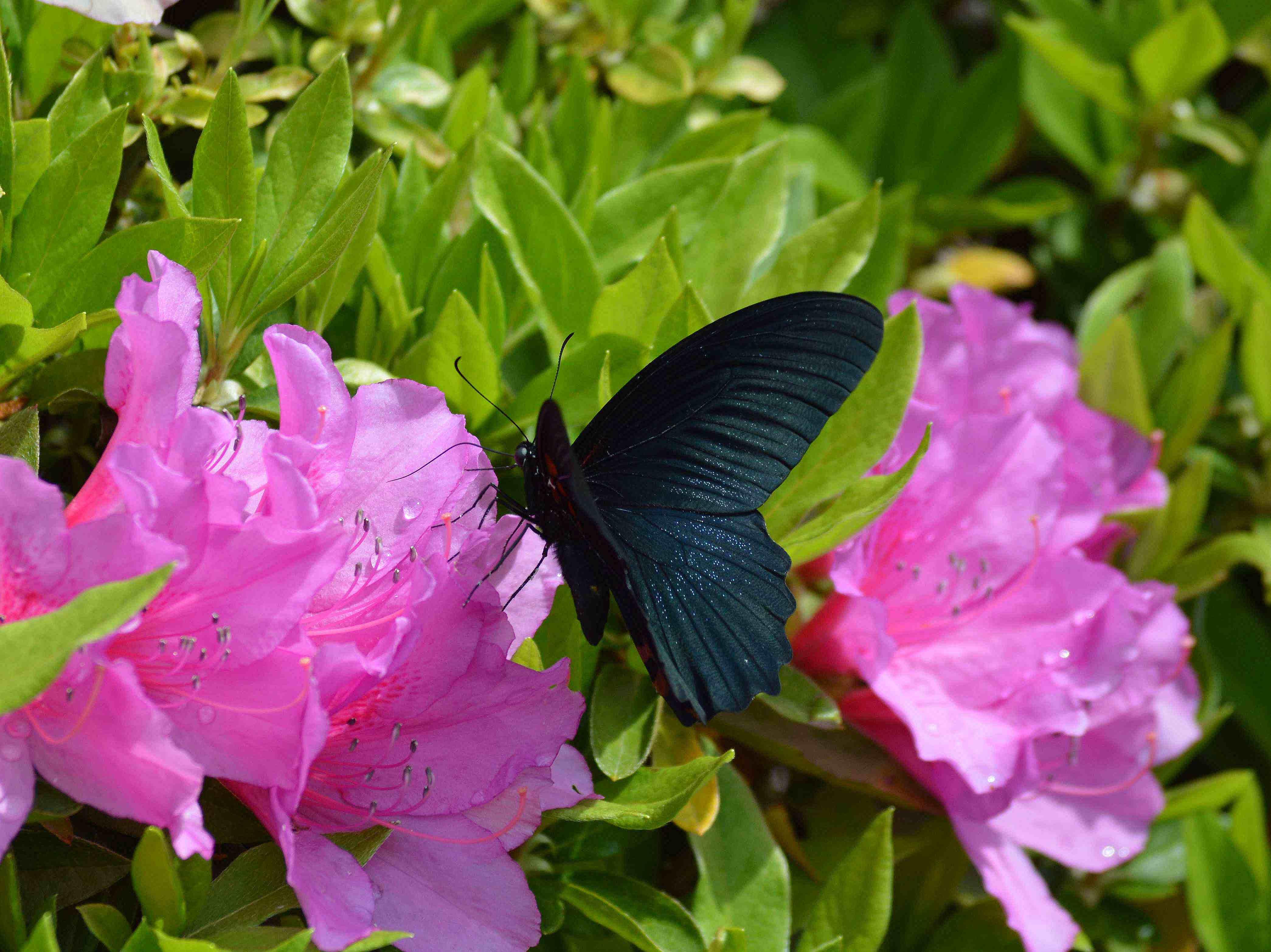 ナガサキアゲハ 超巨大な蝶です_d0254540_134058.jpg