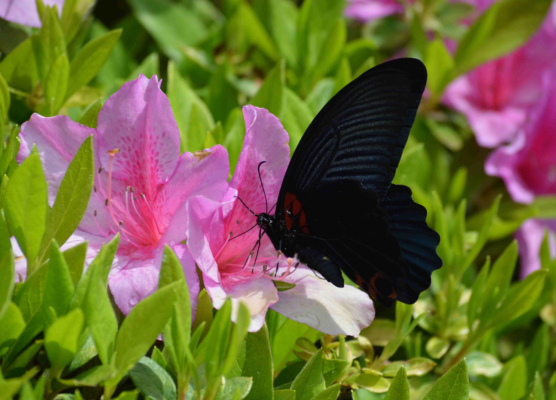 ナガサキアゲハ 超巨大な蝶です_d0254540_1341981.jpg