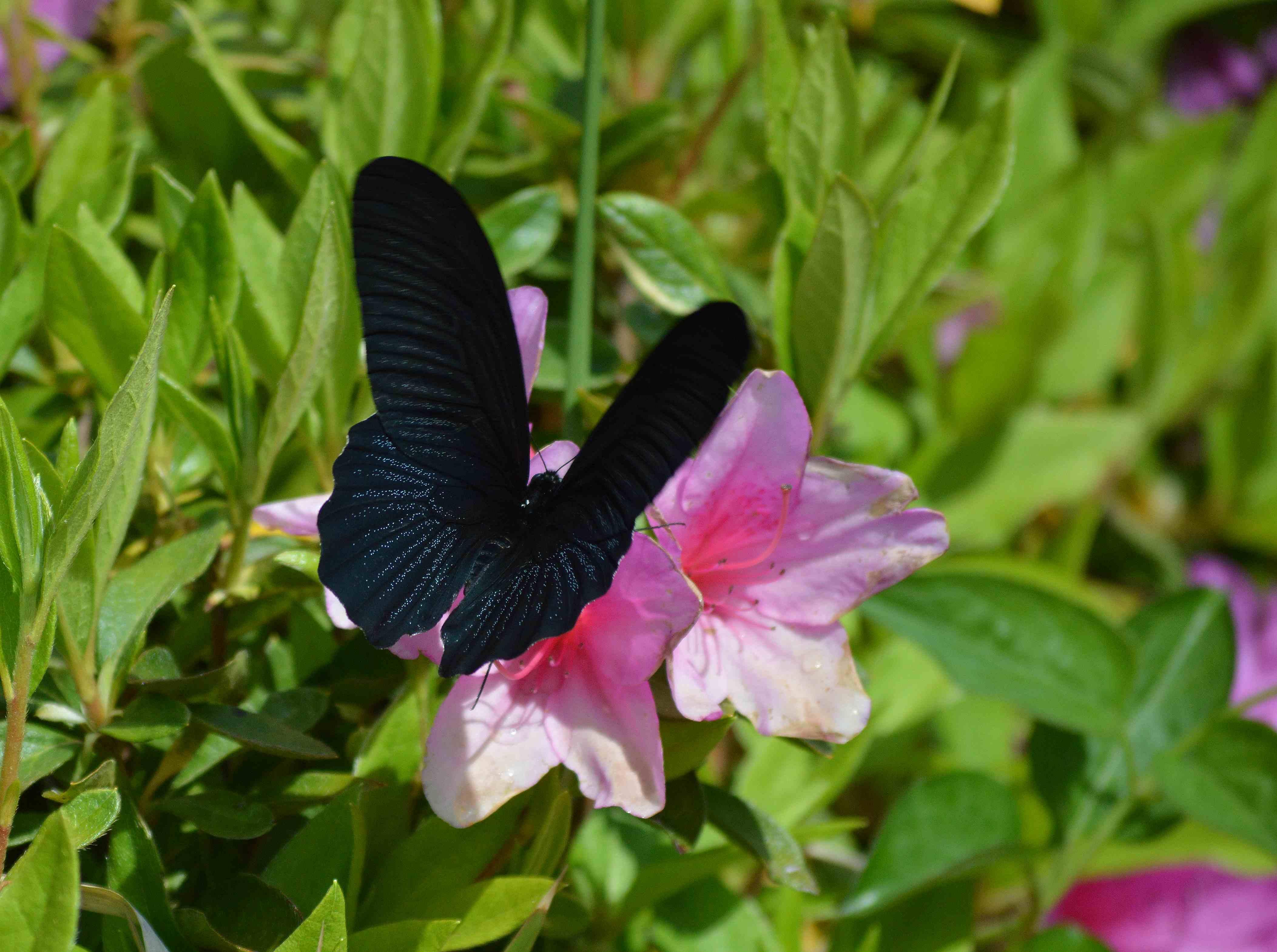 ナガサキアゲハ 超巨大な蝶です_d0254540_1345916.jpg