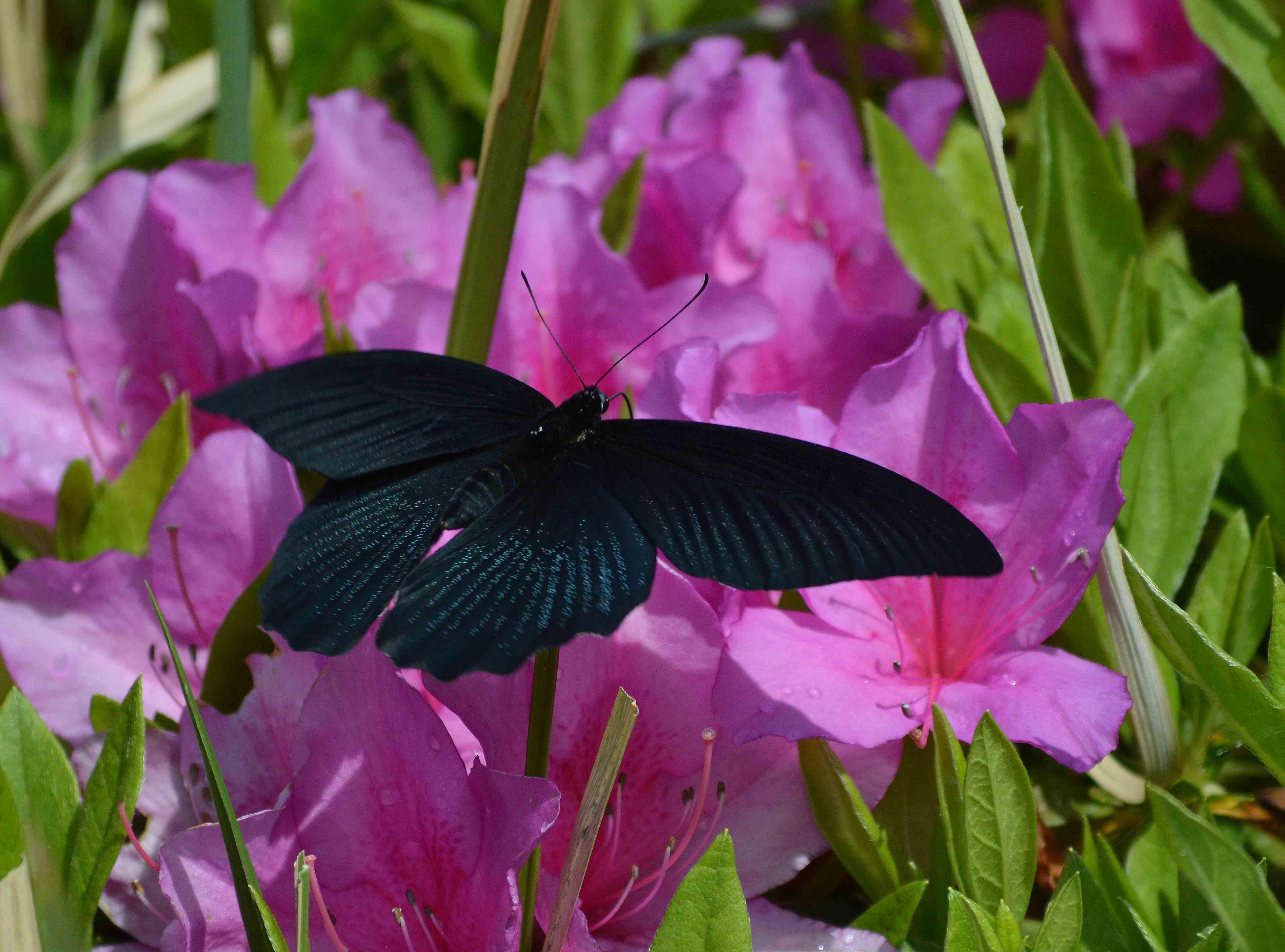 ナガサキアゲハ 超巨大な蝶です_d0254540_1351797.jpg