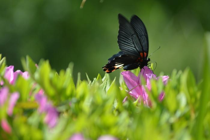 ナガサキアゲハ 超巨大な蝶です_d0254540_1361416.jpg