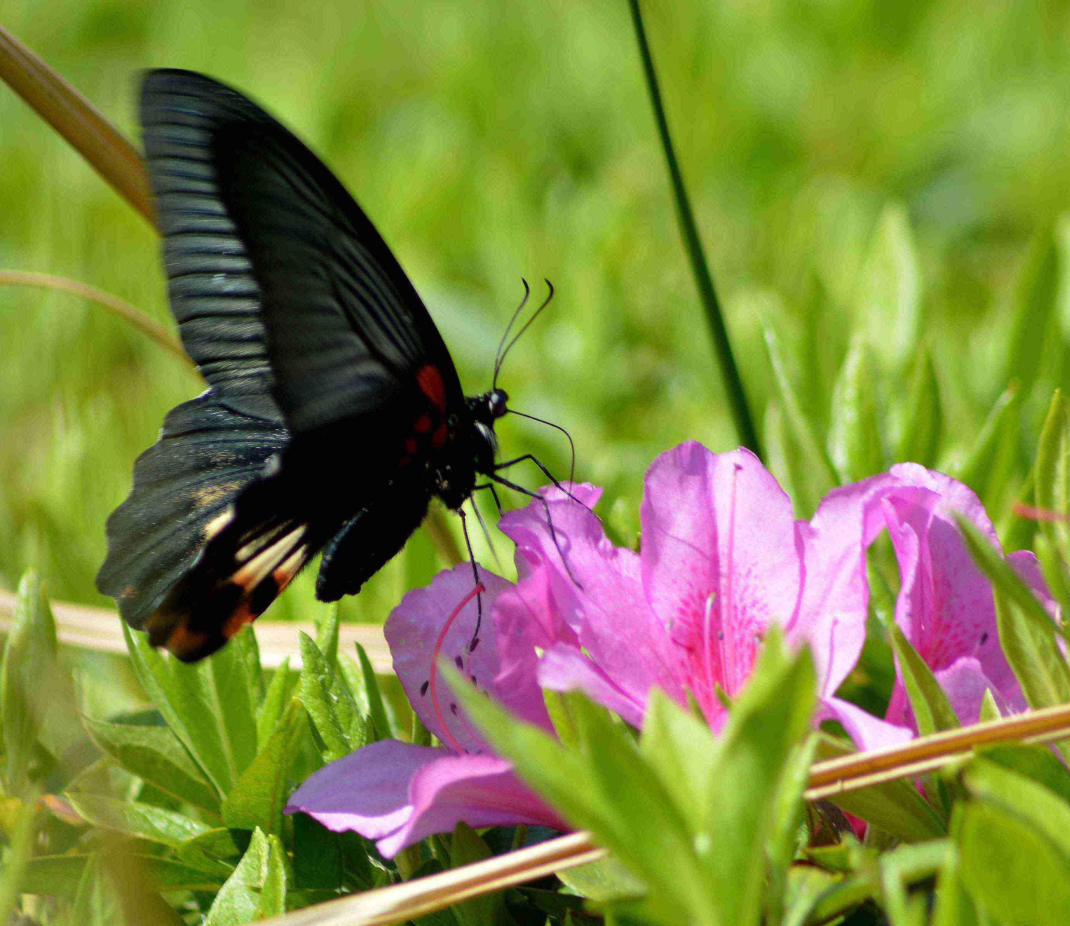 ナガサキアゲハ 超巨大な蝶です_d0254540_1362937.jpg