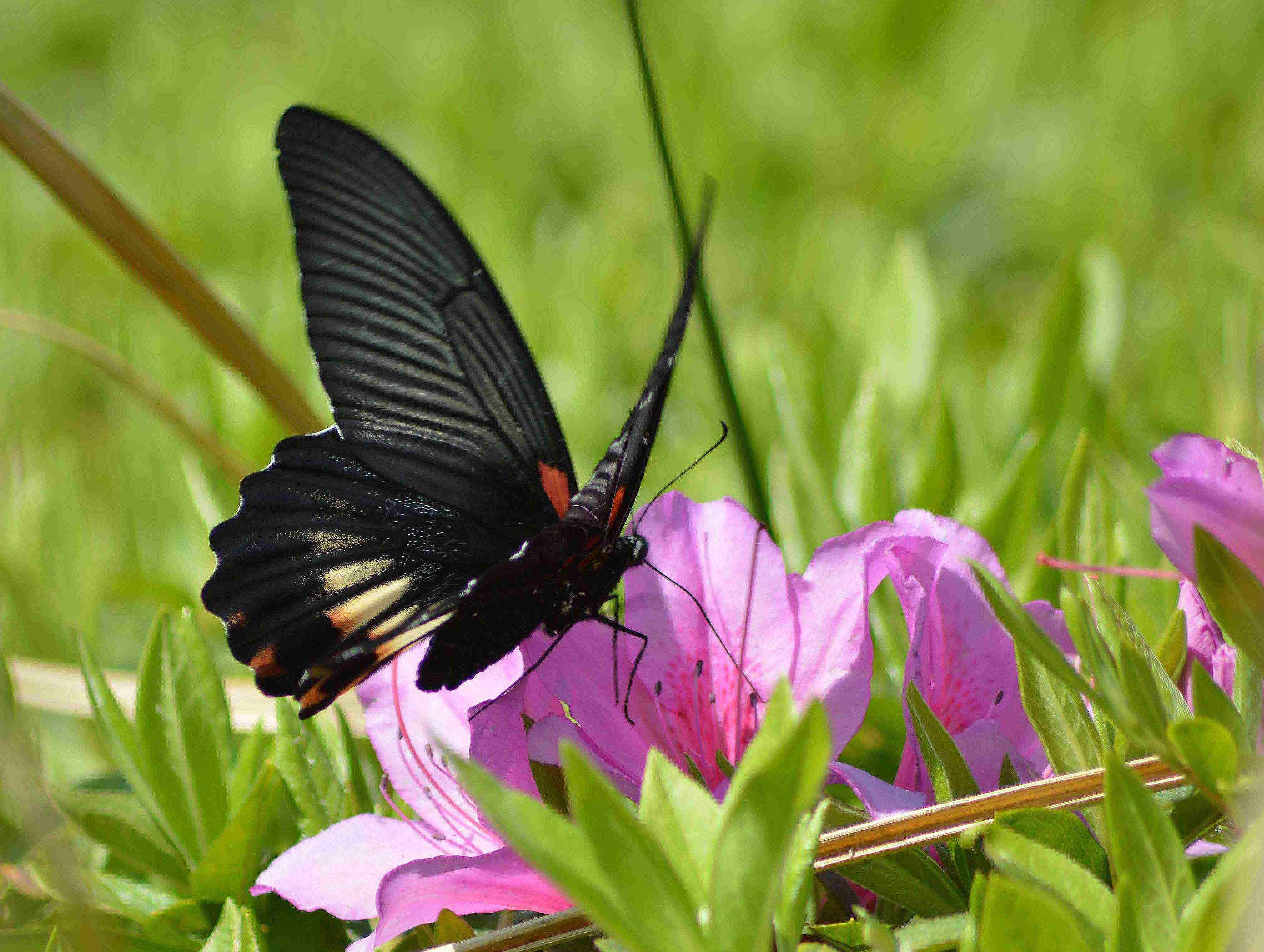 ナガサキアゲハ 超巨大な蝶です_d0254540_1364261.jpg