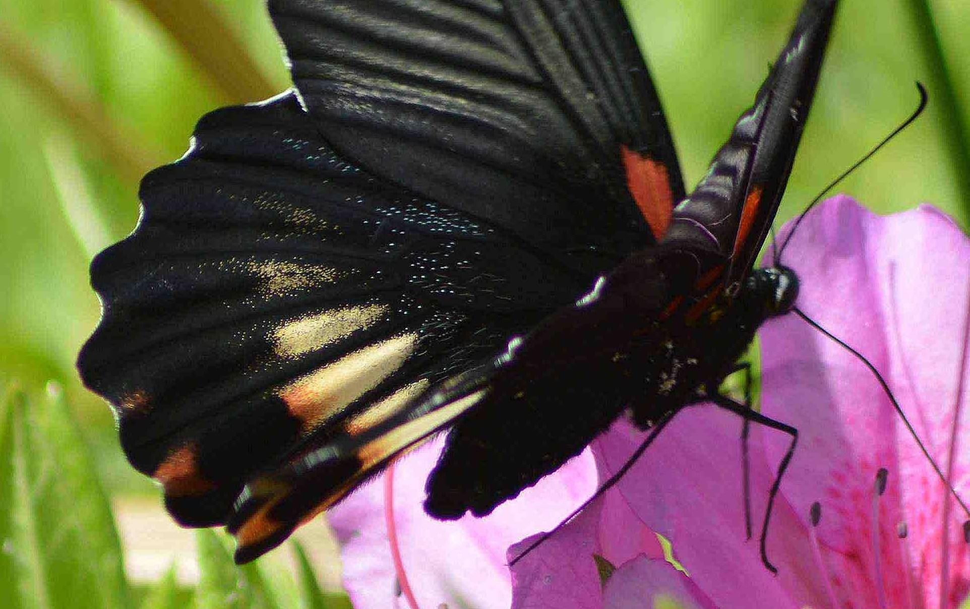 ナガサキアゲハ 超巨大な蝶です_d0254540_1373496.jpg