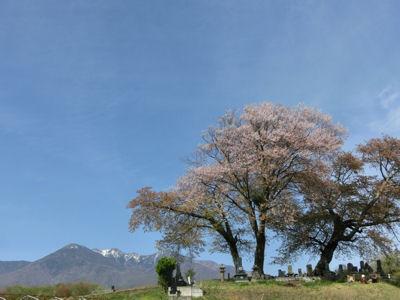 これが鼎談桜!_f0019247_17294811.jpg