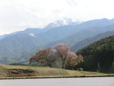 これが鼎談桜!_f0019247_17301964.jpg