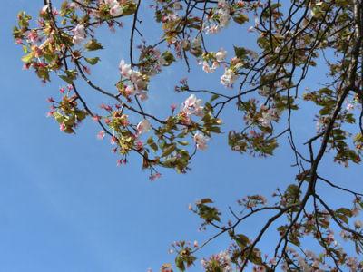 これが鼎談桜!_f0019247_17345196.jpg