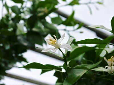 デコポン(肥後ポン) 花芽剪定とデコポンの花のお話し_a0254656_17423565.jpg