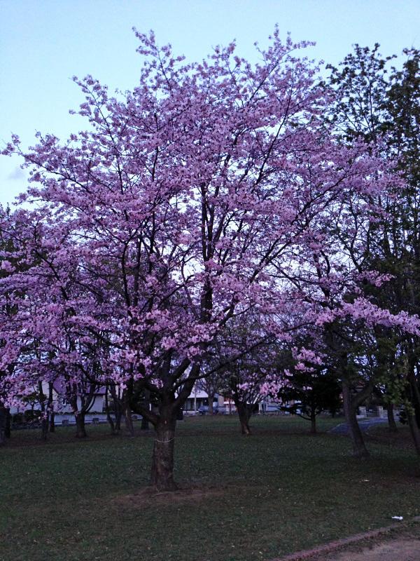 薄暮の桜_e0100772_21294350.jpg