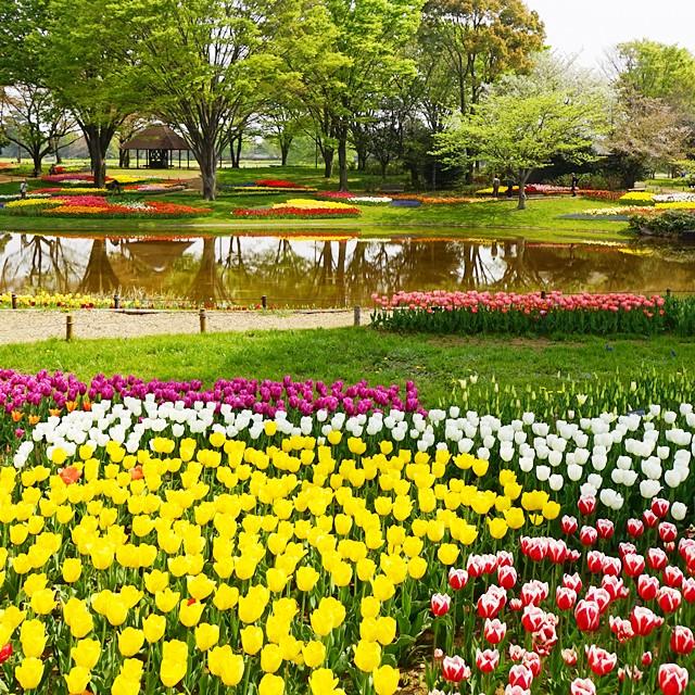 昭和記念公園 チューリップ 2014_b0145398_20175687.jpg