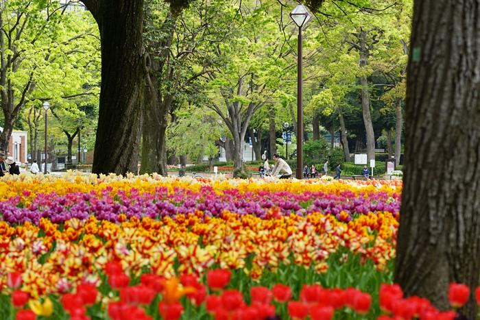 横浜公園 チューリップ 2014_b0145398_203091.jpg