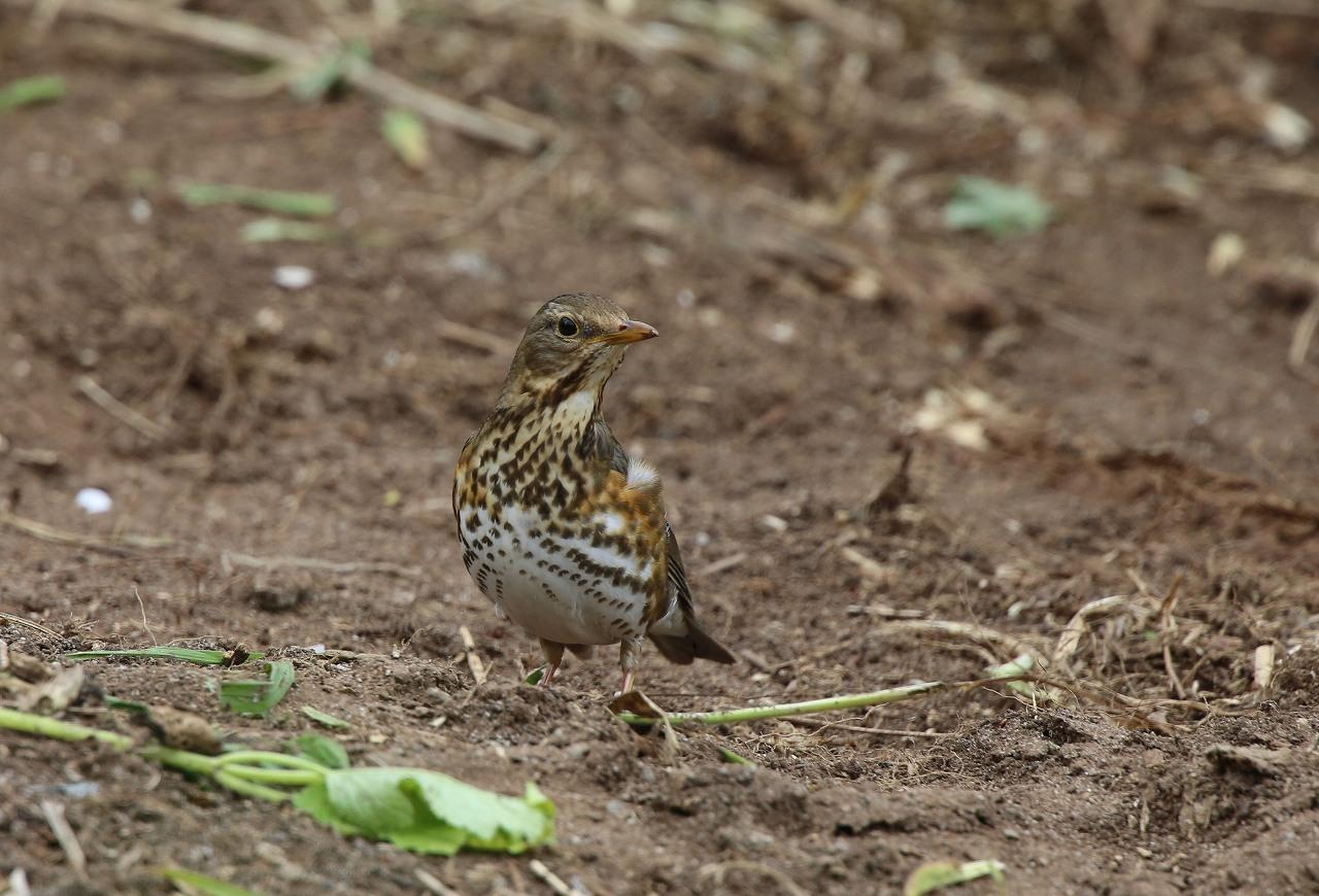 舳倉島の野鳥(8)_f0296999_13591259.jpg