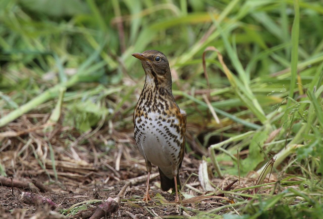 舳倉島の野鳥(8)_f0296999_1359175.jpg