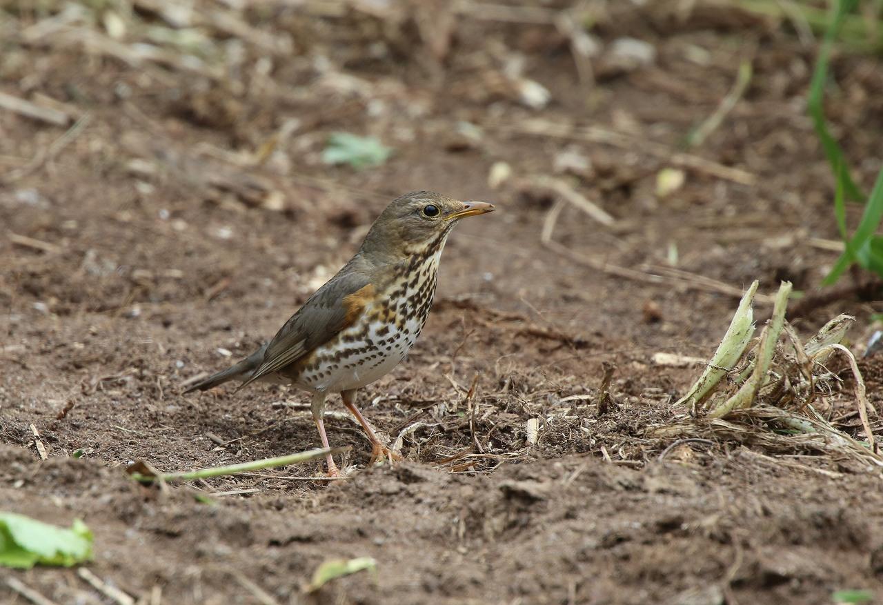 舳倉島の野鳥(8)_f0296999_13597100.jpg