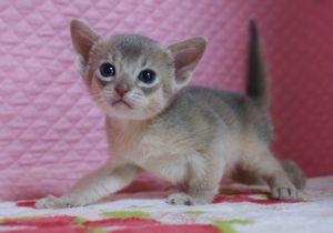 アビシニアン子猫 家族募集 ブルー男の子4/8_e0033609_17164927.jpg