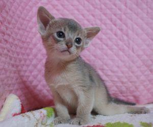 アビシニアン子猫 家族募集 ブルー男の子4/8_e0033609_17171512.jpg