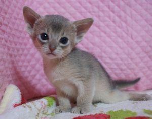 アビシニアン子猫 家族募集 ブルー男の子4/8_e0033609_17172676.jpg