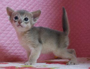 アビシニアン子猫 家族募集 ブルー男の子4/8_e0033609_1717868.jpg