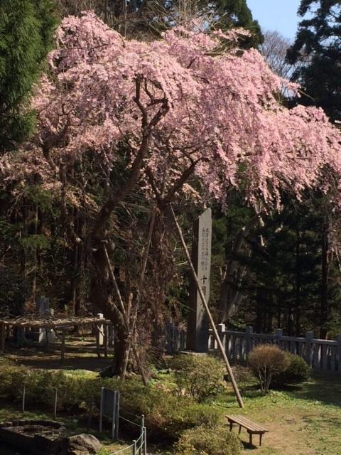 桜 しだれ桜?_d0122014_14434257.jpg