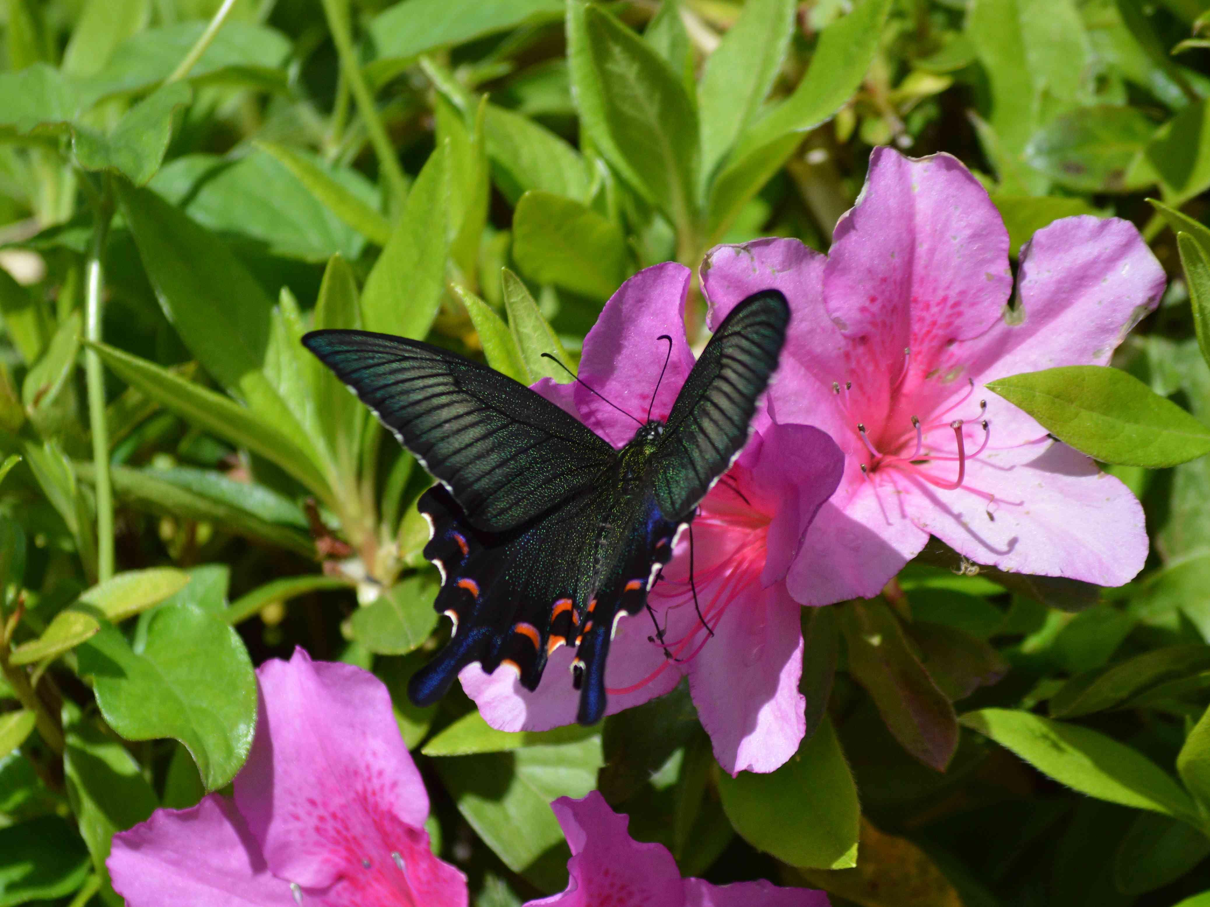 カラスアゲハ 5月6日近くの公園にて_d0254540_18395282.jpg