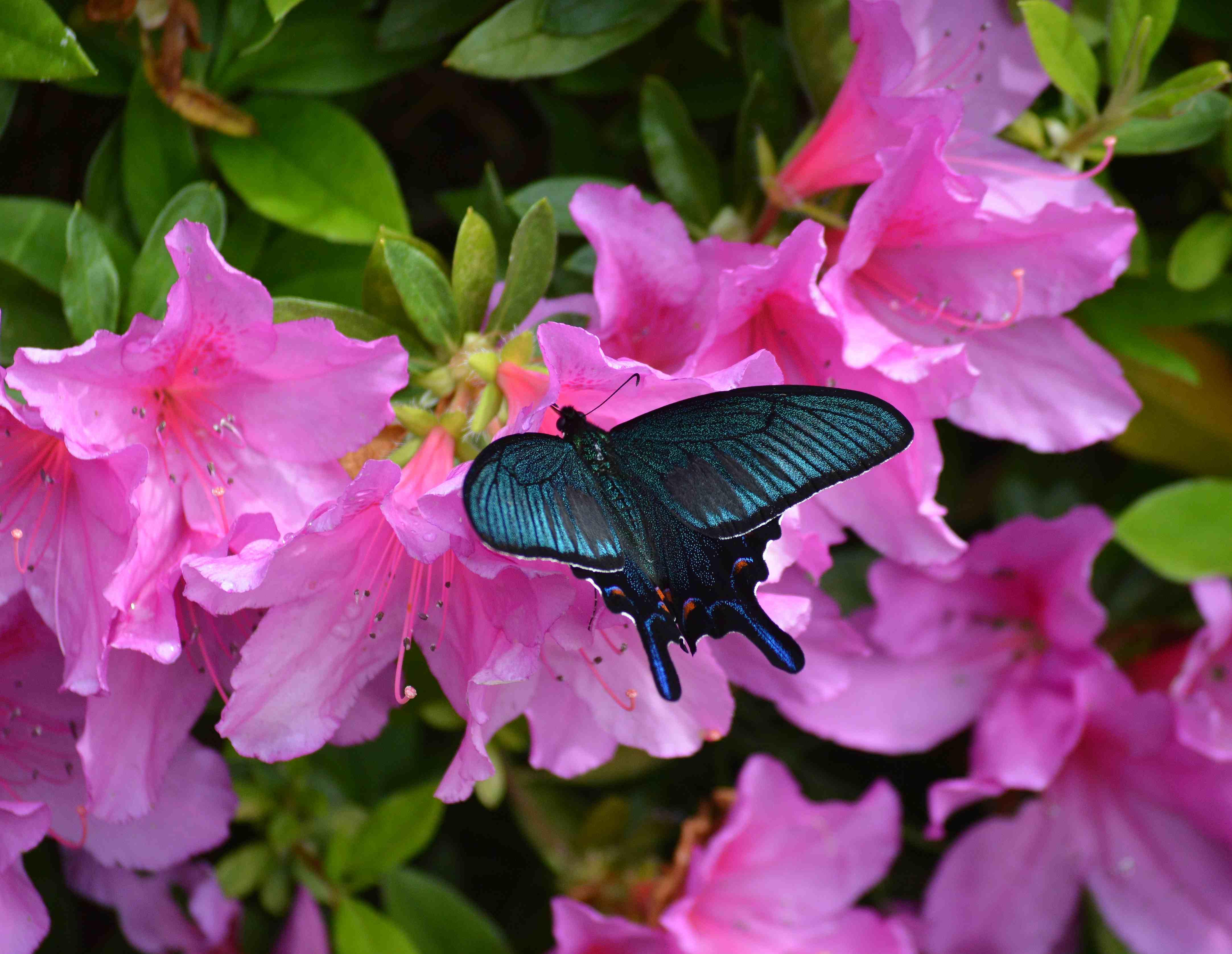 カラスアゲハ 5月6日近くの公園にて_d0254540_1849859.jpg