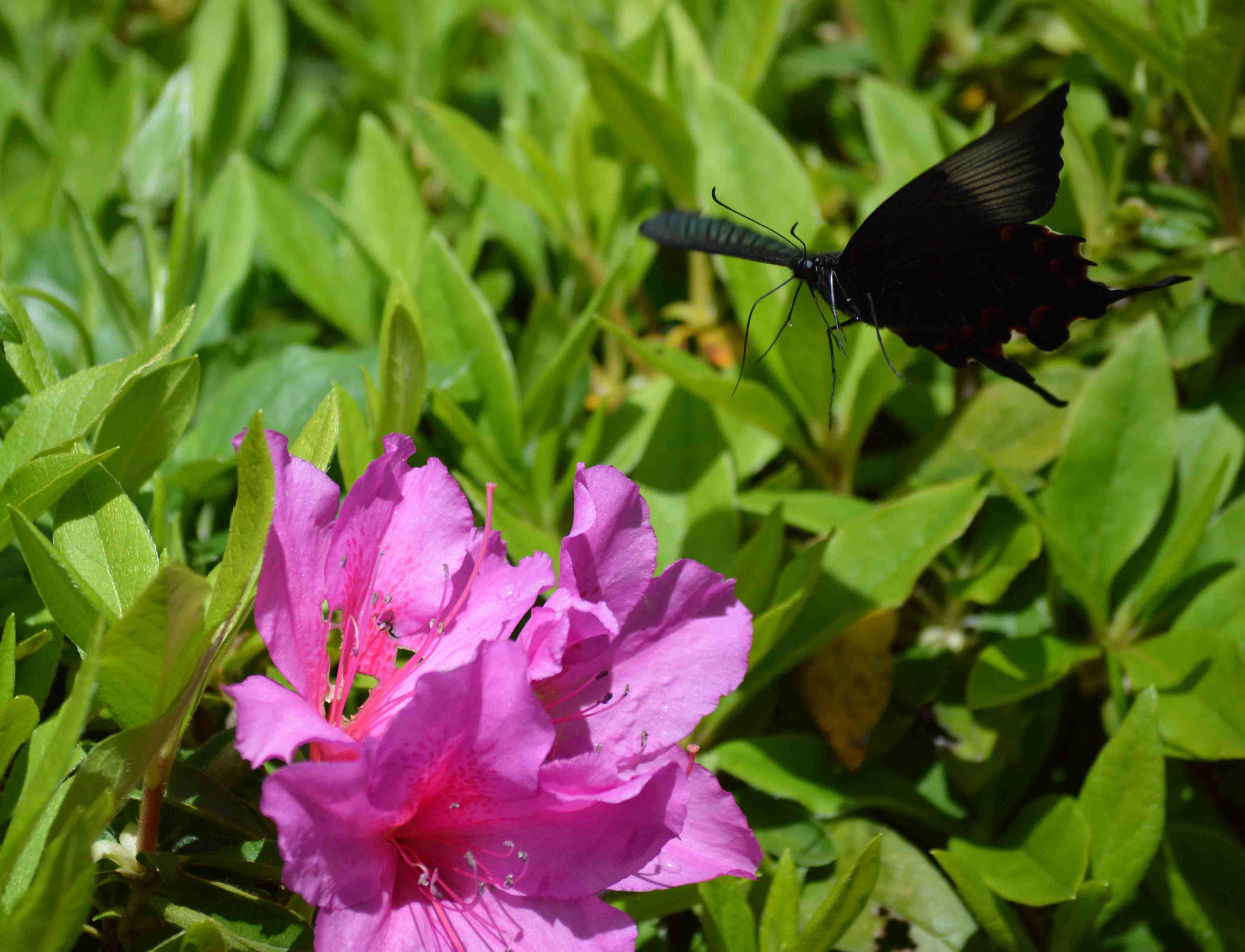 カラスアゲハ 5月6日近くの公園にて_d0254540_19412850.jpg