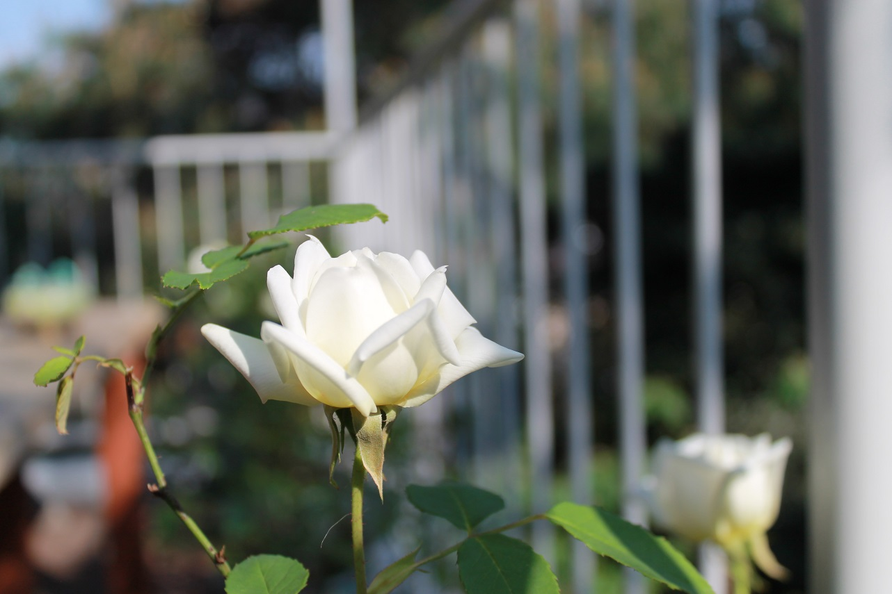 蘭香茶館が初夏爛漫_f0070743_20555427.jpg