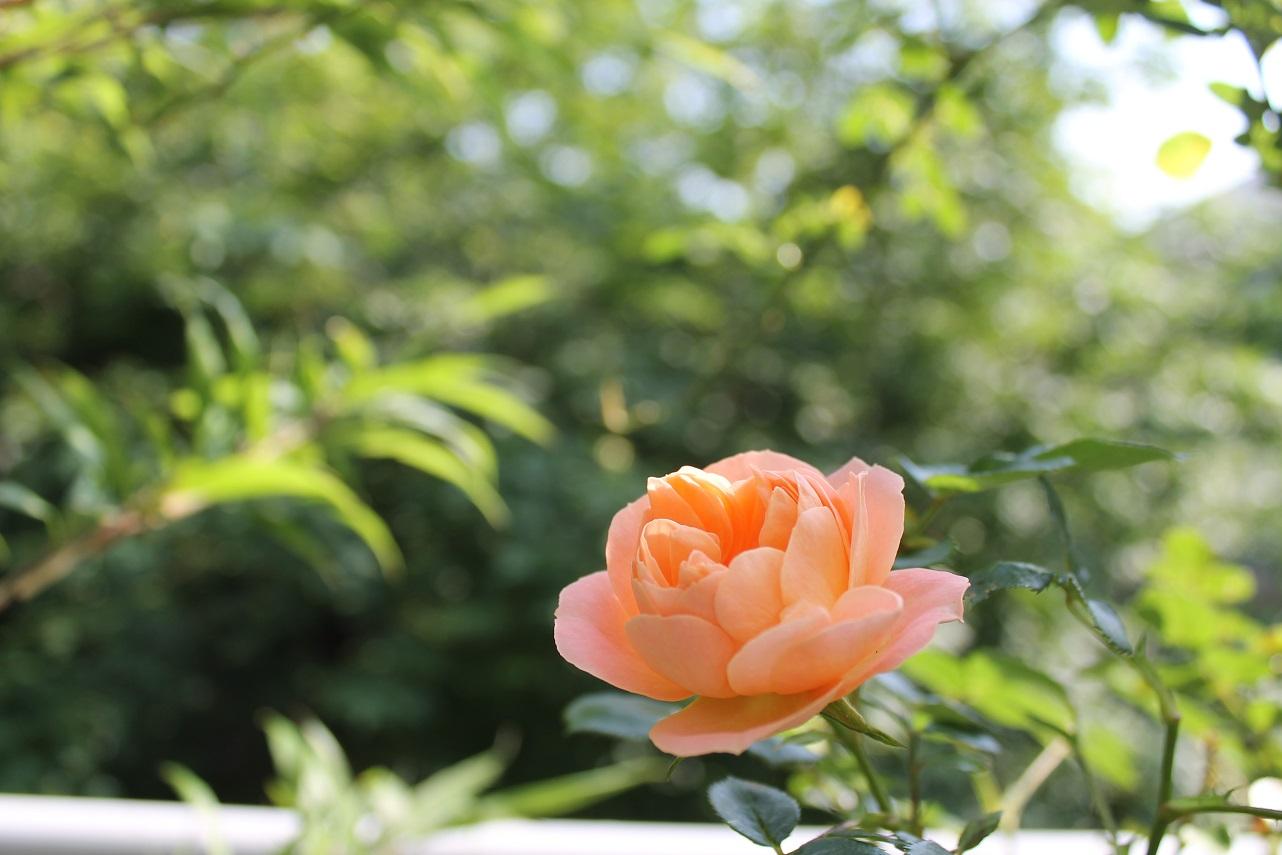 蘭香茶館が初夏爛漫_f0070743_20574366.jpg