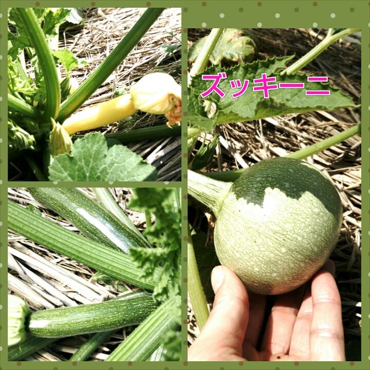 ズッキーニ収穫_e0081959_1845789.jpg