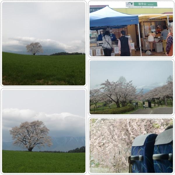 弘前城の桜_b0236665_10534734.jpg