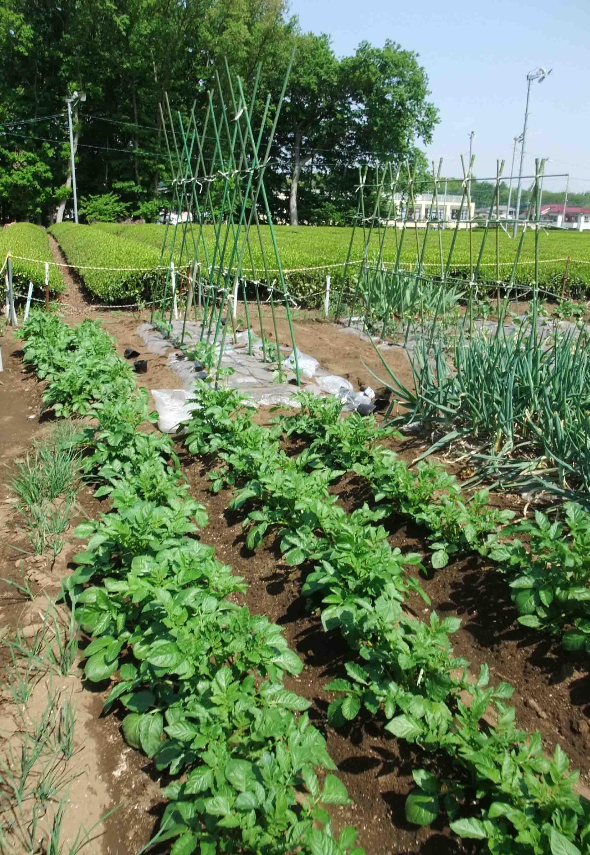 野菜づくり_c0307053_19264535.jpg