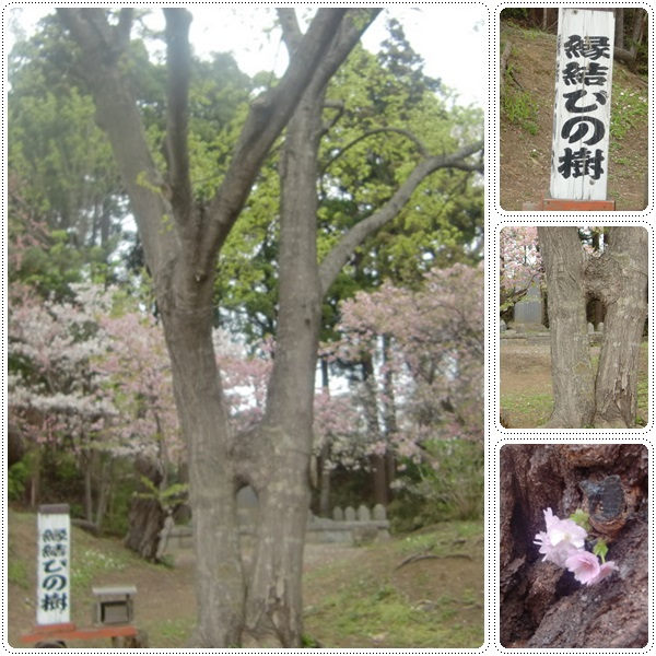 松前城・五稜郭の桜_b0236665_20333021.jpg