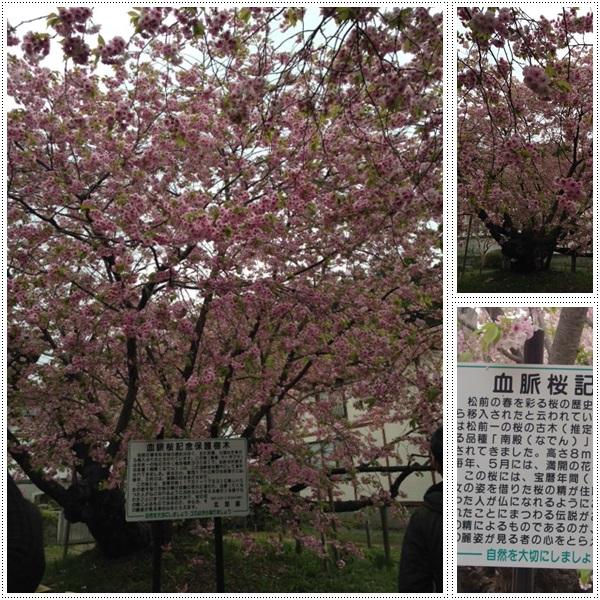 松前城・五稜郭の桜_b0236665_20374618.jpg