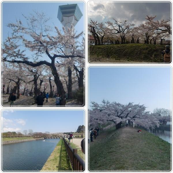 松前城・五稜郭の桜_b0236665_20385434.jpg