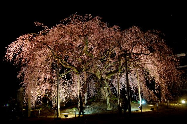夜桜_d0172270_162801.jpg