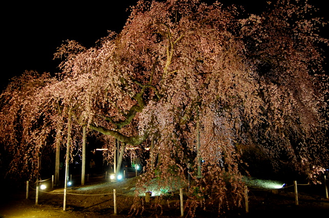 夜桜_d0172270_162810100.jpg